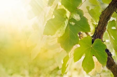 Sommar eller vårsäsong bakgrund med vinblad i vingården och solen strålar Stockfoto