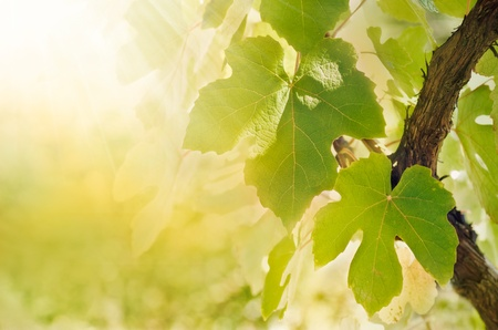 Summer or spring season background with vine leaves in the vineyard and sun rays Stock Photo
