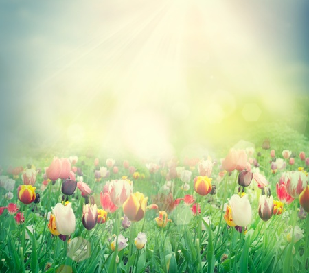 beautiful red tulips close up: Tulip field. Easter spring background with tulips in a beautiful meadow with sunset