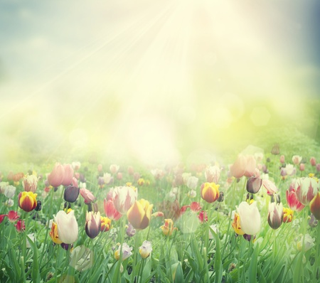 Tulip field  Easter spring background with tulips in a beautiful meadow with sunset photo