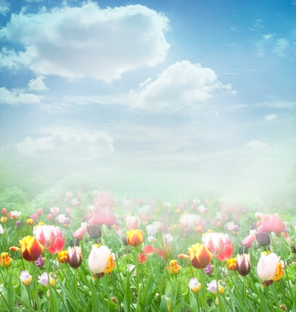 beautiful red tulips close up: Tulip field  Easter spring background with tulips in a beautiful meadow and cloudscape