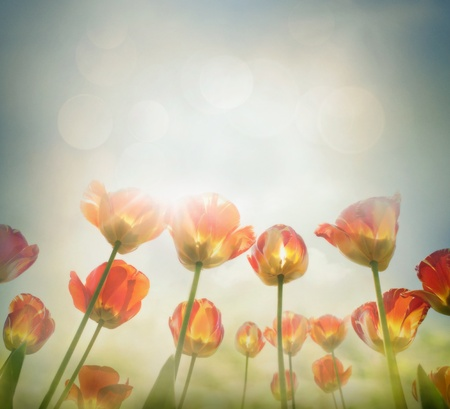 Easter Spring background with beautiful  yellow tulips in late afternoon sunset  Stock Photo - 12812690