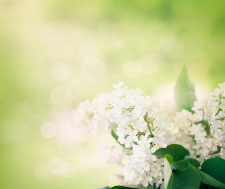 syringa: Spring bokeh floral background with white lilac flowers in the garden Stock Photo