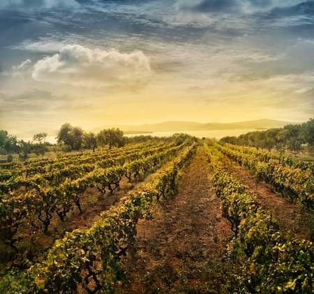 Beautiful vineyard landscape with rows of vines and sea with sunset in the background