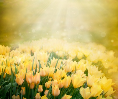 Easter Spring background with beautiful yellow tulips in late afternoon sunset Stock Photo - 13301606