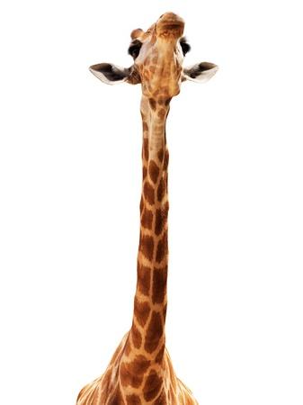 long neck: Close up shot of giraffe head isolate on white Stock Photo