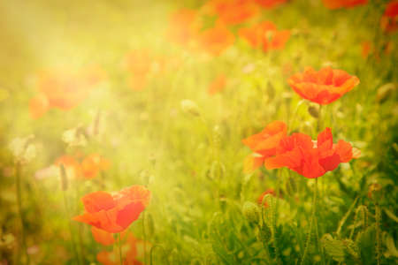 Floral background  Poppy flower in summer meadow  photo