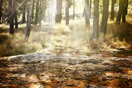 Pine mediterranean forest with rays of light coming through trees Stock Photo - 13712503