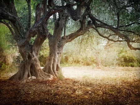 Méditerranée champ d'olive avec de vieux oliviers prêtes pour la récolte