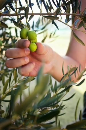 Farmer is harvesting and picking olives on olive farm photo