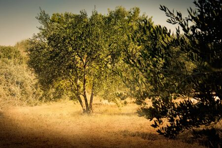 Iediterranean olive field with old olive tree ready for harvest. photo