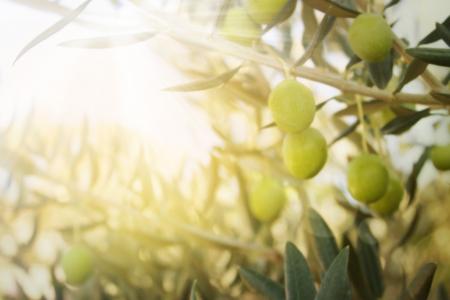hoja de olivo: Aceitunas en el olivo en oto�o Temporada naturaleza