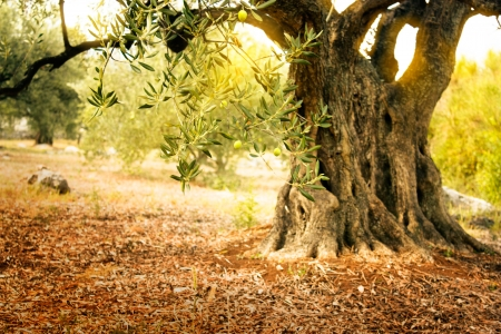 Mediterrane olijven veld met oude olijfboom klaar voor de oogst Stockfoto