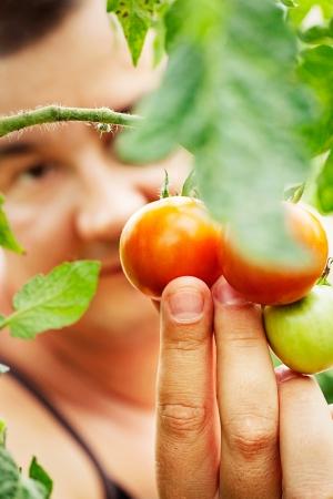Summer vegetable garden concept with gardener harvesting ripe tomatoes