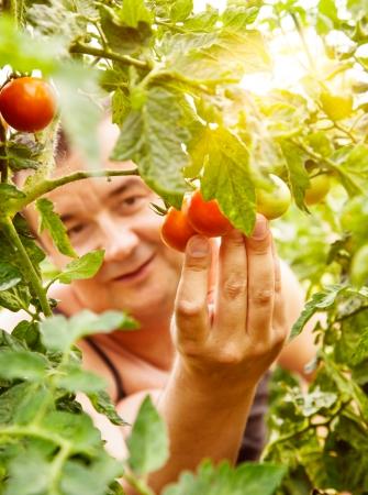 Summer vegetable garden concept with gardener harvesting ripe tomatoes  photo