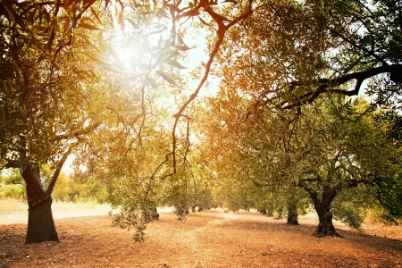 arboleda: Campo Mediterr�neo de oliva con viejo olivo listo para la cosecha