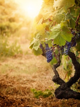 Nature background with Vineyard in autumn harvest  Ripe grapes in fall