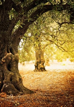 olivo arbol: Campo Mediterráneo de oliva con viejo olivo listo para la cosecha. Foto de archivo