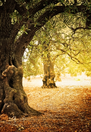 olive trees: Mediterranean olive field with old olive tree ready for harvest. Stock Photo