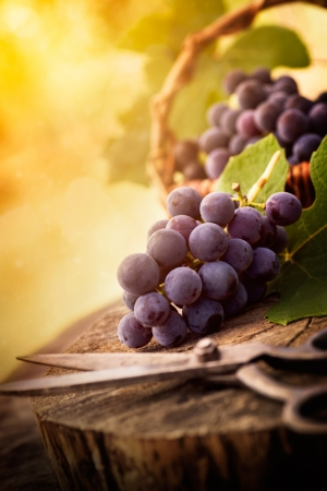 grape leaf: Fresh harvest of grapes. Vineyard theme with black grapes and basket on wooden background. Nature fruit concept.