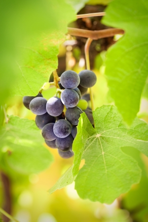 Fresh harvest of grapes photo