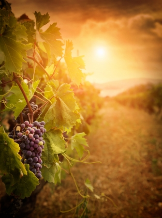 wineries: Nature background with Vineyard in autumn harvest. Ripe grapes in fall. Stock Photo