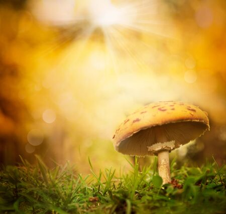 toxic mushroom: Autumn background. Fall forest season mushroom with colorful  bokeh background and copyspace Stock Photo