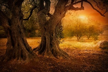 olivo arbol: Campo de oliva mediterr�neo con olivo listo para la cosecha Foto de archivo