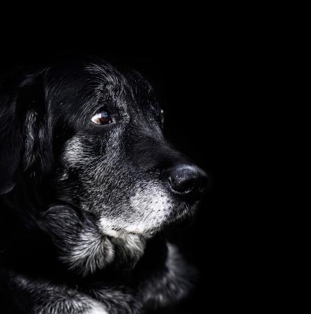 Animal - Old dog labrador retriever macro shot