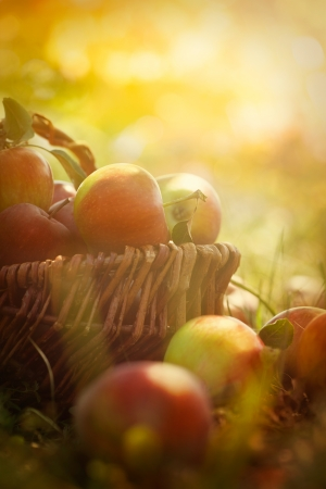 Organic apples in basket in summer grass  Fresh apples in nature photo