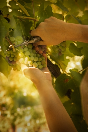 winemaking: Grapes harvest. Farmer is harvesting ripe grapes in vineyard in autumn Stock Photo