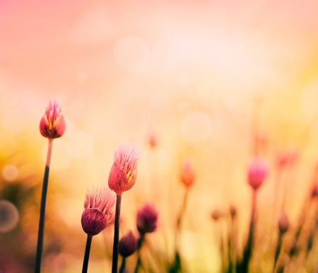 Fresh chives flower over colorful background  Spring or summer floral background
