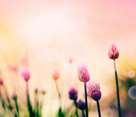 outside of the country: Fresh chives flower over colorful background  Spring or summer floral background