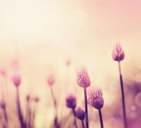 cebollin: Flor fresca cebollino sobre fondo de colores de primavera o verano floral de fondo