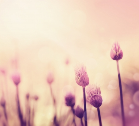 flowers bokeh: Fresh chives flower over colorful background  Spring or summer floral background
