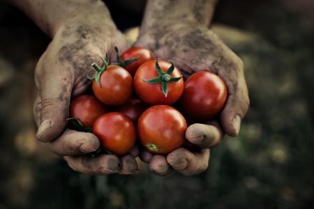 갓 수확 된 토마토와 토마토 수확 농부의 손 스톡 콘텐츠
