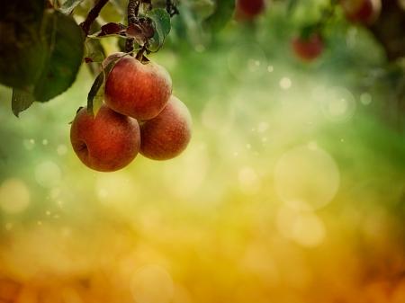 albero di mele: Sfondo di frutta Mele in autunno bokeh Archivio Fotografico