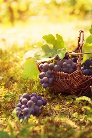 포도는 포도의 바구니와 함께 포도원에서 가을 자연을 수확 스톡 콘텐츠
