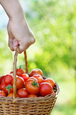 harvest basket: Organic tomatoes in basket  Vegetable garden  Gardener in harvest Stock Photo