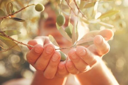De landbouwer oogst en plukt olijven op olijfboerderij Gardener in de oogst van de Olijftuin Stockfoto