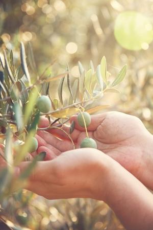 Farmer is het oogsten en plukken olijven op olijf boerderij Tuinman in Olive tuin oogst