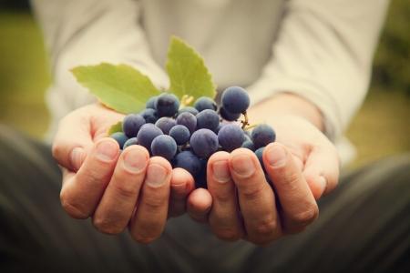 Druiven te oogsten. Boeren handen met vers geoogste zwarte druiven.