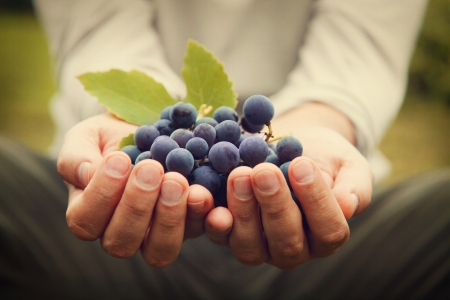wine: Grapes harvest. Farmers hands with freshly harvested black grapes. Stock Photo