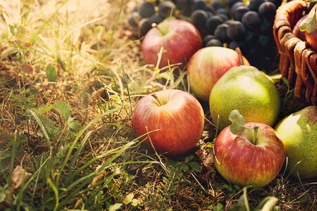 Organic fruit in basket in summer grass  Fresh grapes, pears and apples  in nature photo