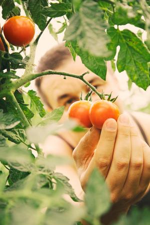 Summer vegetable garden concept with gardener harvesting ripe tomatoes. photo