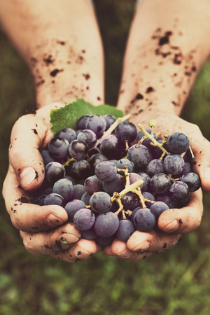 grapes on vine: Grapes harvest. Farmers hands with freshly harvested black grapes. Stock Photo