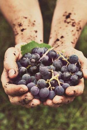 Raisins r�colte. Les agriculteurs mains avec des raisins noirs fra�chement r�colt�es. Banque d'images