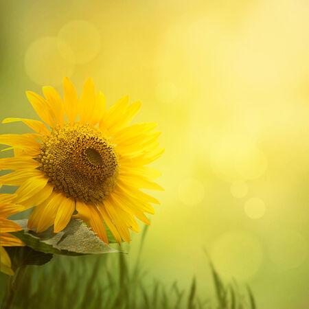 girasol: Verano fondo floral. Flor de girasol en d�a soleado de verano. Dise�o de la frontera