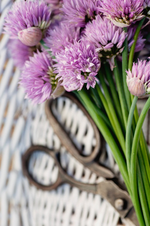 Fresh chives flower over rustic . Spring or summer floral  photo