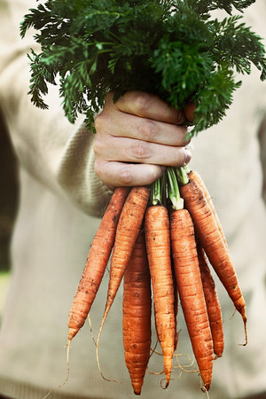red soil: Organic vegetables. Healthy food. Fresh organic carrots in farmers hands